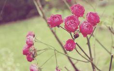 Lomo Rose wallpaper