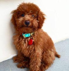 Keiko is soooo lovely  we love her blue-red collar. Thank you @kei.thepoodle #leathercollar #leatherdogcollar  #dogharness #harness #sayanganjing #dogcollar #doglead #dogleash #dogtag #pettag #dogaccessories #bajuanjing #kalunganjing #jualanjing #talianjing #kalungkucing #jualkalunganjing #jualdogcollar #leathercraft #dogbandana #bandanaanjing #dogscarf #taganjing #roverpetcollars #pug #puglife #corgiindonesia #corgistagram #dogsofinstagram by rover_petcollars