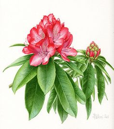 Claire Felloni, french botanical artist.
