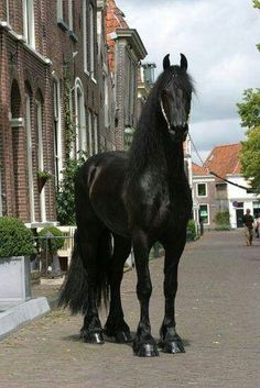 Big Friesian horse standing in a road.