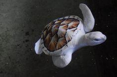 Albino turtle. Sri Lanka