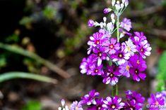 写真 サクラソウ 202101 道端に咲いていた #写真 #photo #花 #flower My Works, Plants, Plant, Planets