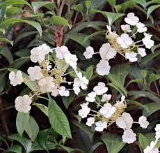 hydrangea petiolaris - Google Search