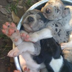 Great Dane Puppies sleeping together