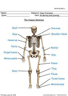 Human Skeleton For Kids, Human Skeleton Anatomy, Human Body Anatomy, Human Anatomy And Physiology, Free Worksheets For Kids, Science Worksheets, Human Bone Structure, Skeletal System Worksheet, Primary Resources