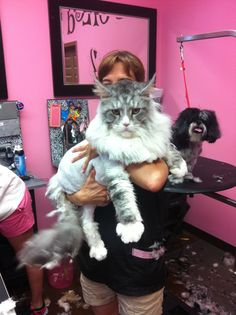 What a big puddy cat!  Maine coon. Maine coons are huge cats.  Tootsie Foots weighed twenty pounds and the vet said I needed to put him on a diet, but I thought he was beautiful.  He was the kindest cat I ever had.