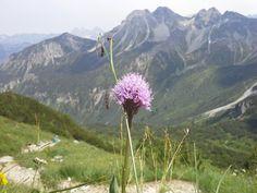 Kugelorchis (Traunsteinera) #Kleinwalsertal #geschützt. Sie ist eine Pflanzenart in der Familie der Orchideen