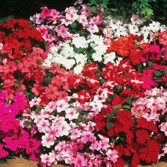 Impatiens Accent Hybrid Mix in The Big Seed Book from Park Seed on shop.CatalogSpree.com, my personal digital mall.