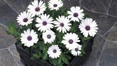 Osteospermum 'Passion™ White' Osteospermum ecklonis #garden #flower