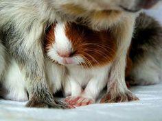 - A little guinea pig! ♡