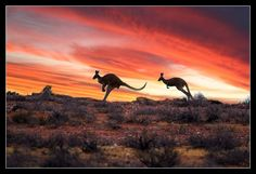 roos in the Outback Australia Outback Australia, Visit Australia, South Australia, Australia Travel, Auras, South Wales, Australia Tattoo, Australian Photography, Thinking Day