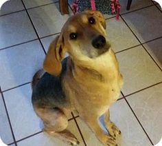Pensacola, FL - Coonhound. Meet Sapphire *COURTESY POST*, a dog for adoption. http://www.adoptapet.com/pet/12894713-pensacola-florida-coonhound