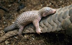 Baby Pangolins are carried on their mothers' tails. Description from twitter.com. I searched for this on bing.com/images