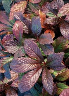 Rodgersia 'Bronze Peacock'. This new Rodgersia is a gorgeously melodramatic addition. New foliage is rich bronze and persists pretty well, maturing to green with bronze tints. Pink flowers in June. Up to 1m x 1m, needs shade. Photo from Terra Nova Nurseries