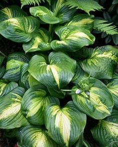 """Hosta 'Cathedral Windows' (Plant Delights Nursery rates this in the top 10 hostas ever introduced...""""amazing heat tolerant foliage, great vigor, and superb, large fragrant flowers"""")"""