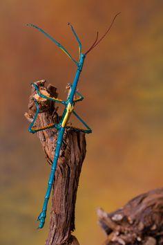 Pie azul insecto palo.