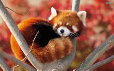 I'm such a red panda fan!