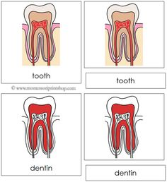 Tooth Nomenclature Cards (Red) - 9 Parts of the Tooth in 3-Part Cards, includes Black-Line Master.
