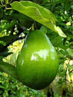 AGUACATES / AVOCADOS in Yucatan - The Maya and other civilizations have grown avocados since Pre-Hispanic times. The avocados in Yucatan are about 8 to 10 inches in length, with delicate aroma and great flavor.