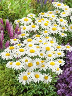 Snowcap is a compact Shasta Daisy variety that forms a tidy mound of leathery green foliage and holds its full-size flowers on short, sturdy stems. Periannual Flowers, Full Sun Flowers, Amazing Flowers, Tattoo Flowers, Wild Flowers, Beautiful Flowers, Long Blooming Perennials, Flowers Perennials, Planting Flowers