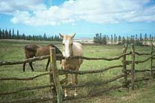 I like that white horse... Koele Horse Stables, Lanai Island, #Hawaii
