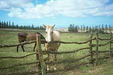 I like that white horse... Koele Horse Stables, Lanai Island, #Hawaii