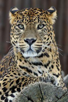 Photograph Leopard Portrait by Josef Gelernter on 500px