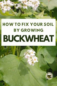 Improve and fix your bad garden soil by growing Buckwheat. Buckwheat grows very fast, dig it under and let it rot. Buckwheat adds lots of nutrients to fix bad soil. #gardening #soilfix #buckwheat Organic Gardening, Gardening Tips, Container Gardening, Amending Clay Soil, Easy Vegetables To Grow, Soil Improvement, Garden Soil, Vegetable Garden, Grow Your Own Food