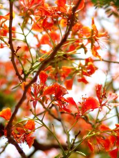Flame Of The Forest - Delonix regia - The Gulmohar Tree( the minute the flowers fall... know the rains are close to the heel is  how I chose to remember the first monsoon :)