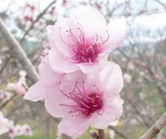 Peach Blossom State flower of Delaware Bloom time early spring Peach Blossom Flower, Peach Flowers, Peach Blossoms, All Flowers, Send Flowers, Spring Flowers, Wedding Flowers, Beautiful Gardens, Beautiful Flowers