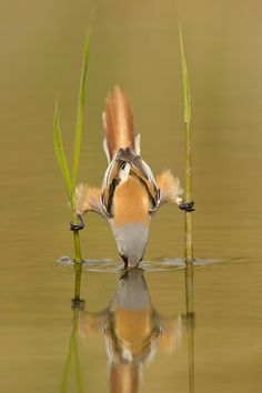 Sipping, amazing, bird is using stilts as a tool for not getting wet.