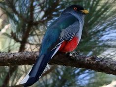 Hispaniolan Trogons also inhabit the highlands