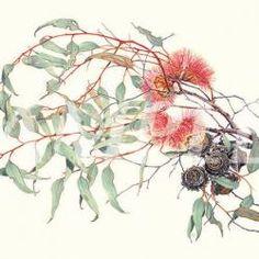 A signed Eucalyptus print by Philippa Nikulinsky Australian Native Flowers, Australian Artists, Beatrix Potter, Botanical Illustration, Botanical Prints, Eucalyptus Leaves, Art World, Art History, Watercolor Art