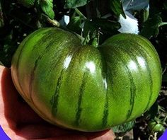 Amazon.com : Seeds Market Rare Heirlooms Arbuznyi big green tomato with dark green line of organic seeds, professional packaging, 100 seeds / package, sweet vegetables : Patio, Lawn & Garden
