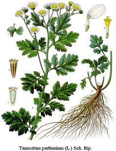 Camomila  Tanacetum parthenium