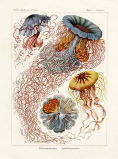 If you're like me, you've always wanted Ernst Haeckel in your house. Well, not literally Ernst Haeckel, the great century biologist (although that would be cool, in alive form). Art And Illustration, Octopus Illustration, Nature Illustrations, Antique Illustration, Ernst Haeckel Art, Natural Form Art, Jellyfish Art, Colorful Jellyfish, Jellyfish Drawing