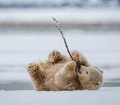 Playing Polar Bear Cub by Mark Girard http:// beautiful-wildlife.tumblr.com/post/140551451528/playing-polar-bear-cub-by-mark-girard by https://j.mp/Tumbletail. Superb Nature.