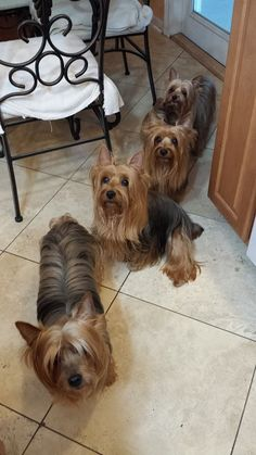 The one in front could be Ted. Yorkie Breeders, Yorkie Puppies, Yorkshire Terrier Puppies, Dogs And Puppies, Rat Terrier Mix, Silky Terrier, Rat Terriers, Smiling Animals, Cute Animals