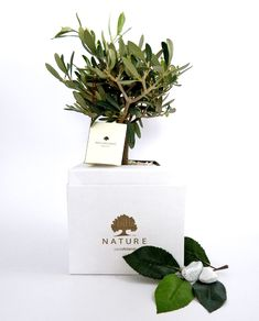 olive bonsai with paola rolando box - Modern Wedding Favors, Our Wedding, Wedding Ideas, Wedding Things, Bonsai, Gift Wrapping, Place Card Holders, Bridal, Plants