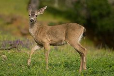 "How to Deer Proof Your Garden! Here at Blossom Town we often get the question, ""How can I protect my garden from deer?"""