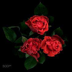 ROSE TRIANGLE… by Magda Indigo on 500px
