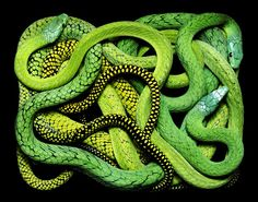 Snakes as art by Guido Mocafico.  Some people find them creepy but I grew up around them because my Dad, a herpetologist, had a habit of bringing his work home. It made for an interesting childhood.