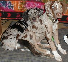 Catahoula's. I used to have one. He was a fantastic dog.