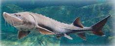 The Center for Biological Diversity has petitioned for federal protection for lake sturgeon, an ancient fish species in the Great Lakes and the Mississippi River drainage that has declined by Beluga Sturgeon, Lake Sturgeon, Sturgeon Moon, Ancient Fish, Great Lakes Region, Salmon Fishing, Tuna Fishing, Big Fish, Giant Fish