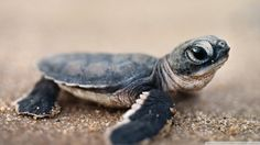 baby turtles and tortoises Baby Animals Pictures, Cute Baby Animals, Funny Animals, Wild Animals, Small Animals, Nature Animals, Baby Sea Turtles, Cute Turtles, Turtle Baby