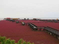 The Red Beach is located in the Liaohe River Delta, about 30 kilometer southwest of Panjin City in China. The beach gets its name from its a...