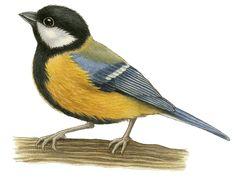 Vogels - francien van westering Clay Birds, Pet Birds, Small Birds, Colorful Birds, Vintage Bird Illustration, Illustration Art, Bird Drawings, Animal Drawings, Bird Template
