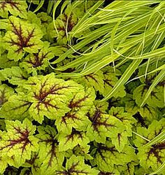 """Heucherella 'Stoplight' with Japanese hak grass  --- Red centers on gold leaves, evergreen. 6"""" tall by 10"""" wide. Color is best in spring, but fairly stable through summer."""