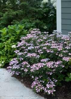 Proven Winners - Tiny Tuff Stuff™ - Mountain Hydrangea - Hydrangea serrata blue pink blue flowers in acidic soil, pink in more alkaline soil. Hydrangea Serrata, Hydrangea Shrub, Hortensia Hydrangea, Hydrangea Care, Garden Shrubs, Landscaping Plants, Front Yard Landscaping, Shade Garden, Landscaping Ideas