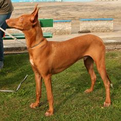 Pharaoh Hound Information - Dog Breeds at thepetowners